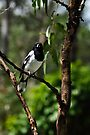 pied butcherbird iii by gary roberts