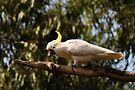 sulphur-crested cockatoo by gary roberts