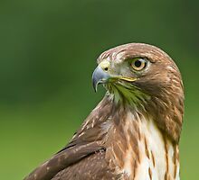 Red-Tailed Hawk  by Daniel  Parent