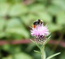 Red tailed bumblebee by Vanella Mead