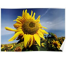 Sunflower (II) Poster