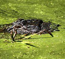 Gator in Swamp by Todd Aitken