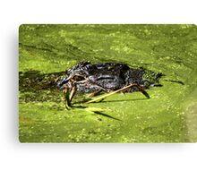 Gator in Swamp Canvas Print