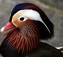 Mandarin Duck by snapdecisions