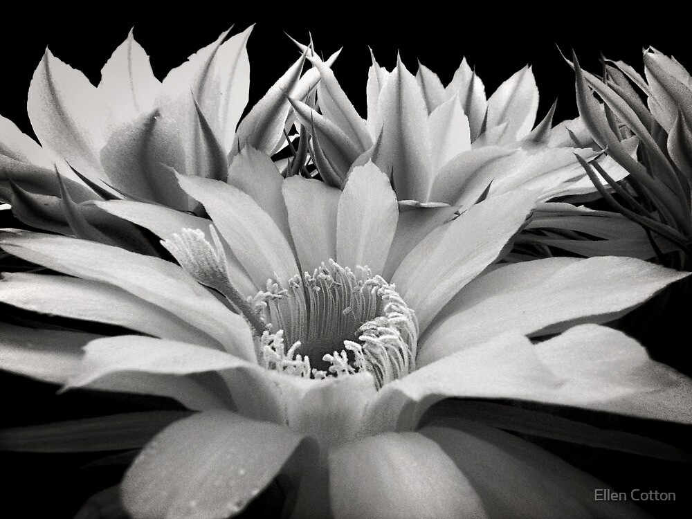 Cactus Flowers by Ellen Cotton