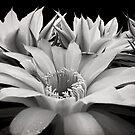 Cactus Flowers by Ellen Cotton