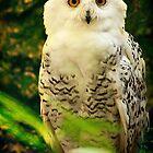 Snowy Owl by Simon Marsden