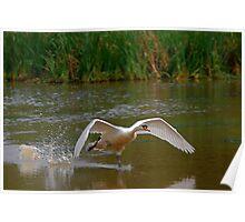 Swan Greeting 5 Poster