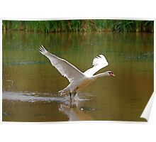 Swan Greeting 7 Poster