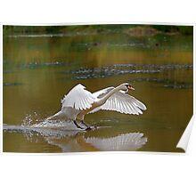 Swan Greeting 8 Poster