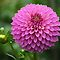 Collection of Dahlias by Kathy Yates