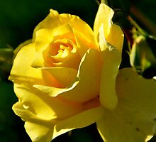 wild yellow rose by Reni Streminger