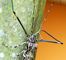 Harlequin Long-Horned Beetle (Acrocinus longimanus) - Costa Rica by Jason Weigner