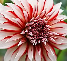 Santa Clause, Red &White Dahlia by Terrie Taylor