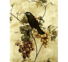 Red-winged Blackbird... Photographic Print