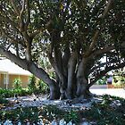 Moreton Bay Fig, (ficus macrophylla) by Maggie Hegarty