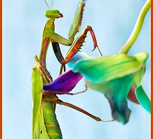 Mantis climbing Orchids by Susan Kelly