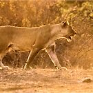 THE LIONESS - in full Sunset charge by Magriet Meintjes