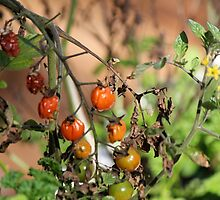 Wilted Tomatoes by mphilips