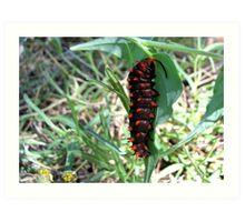 Pipevine Swallowtail caterpillar Art Print