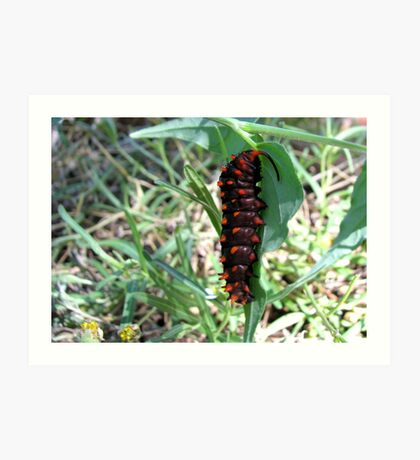 Pipevine Swallowtail caterpillar Art Print