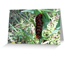 Pipevine Swallowtail caterpillar Greeting Card