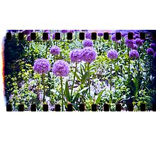 lovely purple sprocket flower Photographic Print