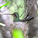 Broad-billed Hummingbird by Sherry Pundt