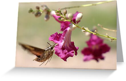 White-lined Sphinx Moth by Kimberly Chadwick