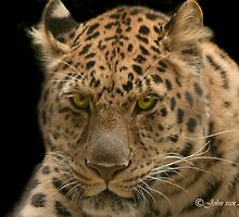 ... the Amur Leopard.... by John44