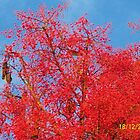 Flame Tree by Carol Appelbee