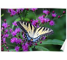 Tiger Swallowtail - Hueston Woods Ohio Poster