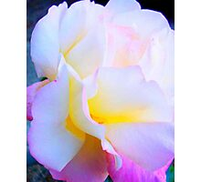 Peace Rose - So Delicate Photographic Print