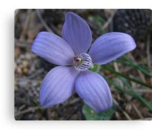 Blue China Orchid Canvas Print