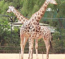 Mum and Dad - Girafe at the Zoo by Carol Appelbee