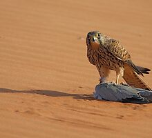 Kestrel on Dove by David Clark