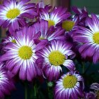 Splash of Colour - Purple Daisies by Carol Appelbee