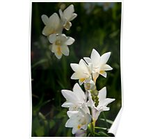 Arum Lilies Poster