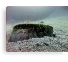 Hermit Crab - Ras Mohammed - Red Sea Canvas Print