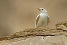 Albino Desert Lark by David Clark