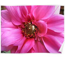 Perfection in Pink - Dahlia Macro Poster