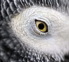 Yellow Eye - African Grey Parrot by Derek McMorrine