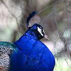Peacock by palmerphoto
