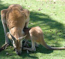 Kangaroo and Joey by palmerphoto