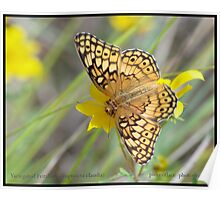 Variegated Fritillary butterfly.... Poster
