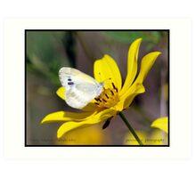 Dainty Sulphur butterfly... Art Print