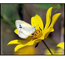 Dainty Sulphur butterfly... Photographic Print