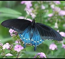 Pipevine Swallowtail butterfly... by pieceoflace