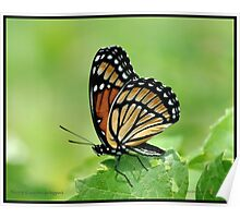 Viceroy butterfly... Poster
