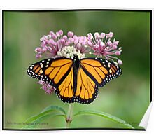 Male Monarch butterfly Poster